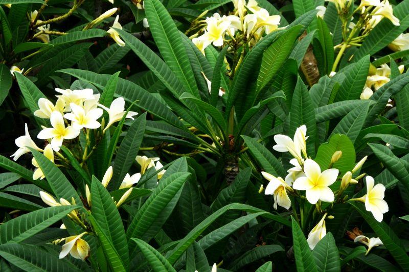 Frangipiani - oszałamiająco pachnący kwiat, który na Bali nosi się za uchem - perfumy i ozdoba w jednym. Symbol balijskiego spa.